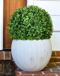 Rental store for GREENERY, BOXWOOD BALL 15 in Lake Charles LA